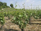 Pinot Noir Vineyard