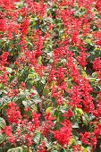 Red Salvia Of Winter.