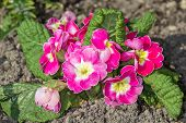 picture of primrose  - The photo shows pink and white striped primroses - JPG