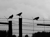 Three crows sitting on the barb wire