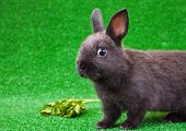 Balck Domestic Rabbit poster