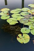 Green Lily Pads.