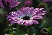 pic of pedal  - Purple flower after spring rain wet pedals - JPG