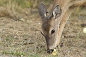 Fawn Eats Apple.
