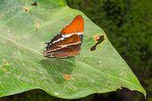 Adelpha Cytherea Linnaeus Butterfly