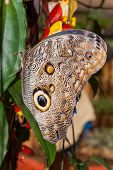 picture of cocoon tree  - Giant Caligo oileus the Oileus Giant Owl butterfly amazonian rain forest - JPG