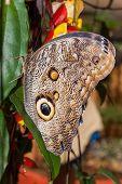 picture of cocoon tree  - Giant Caligo oileus the Oileus Giant Owl butterfly amazonian rain forest - JPG