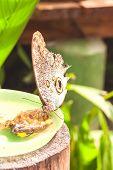 Giant Caligo oileus, the Oileus Giant Owl butterfly, amazonian rainforest