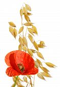 oats with red poppy