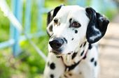 pic of firehouse  - a dalmatian on a green grass outdoors