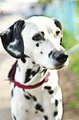 picture of firehouse  - a dalmatian on a green grass outdoors