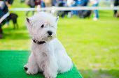 stock photo of west highland white terrier  - west highland white terrier on an exhibition outdoors - JPG
