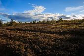 Swedish Mountains landscape with Heather in moorland