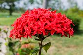 Photos Red Ixora Flowers