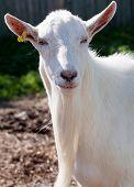 White Goat Snout