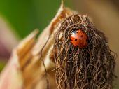 Ladybug On Maize