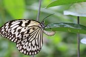 image of laying eggs  - Large Tree Nymphs butterfly and eggs - JPG