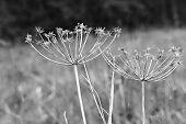 Wildflower Aegopodium Podagraria Umbels
