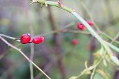 Dog Rose Berries  In Garden