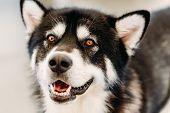 Alaskan Malamute Dog Close Up Portrait