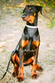 Black Doberman Dog Outdoor Portrait