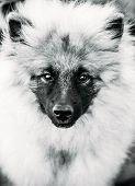Gray Keeshound, Keeshond, Keeshonden Dog (german Spitz) Wolfspitz Black And White Portrait