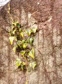 picture of climber plant  - Climber plant on the rock wall - JPG