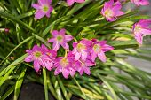 foto of lillies  - Lilly flowers and plant of green and red colors - JPG