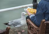 Large seagull begging for food.