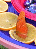 Schmetterling-Orangen