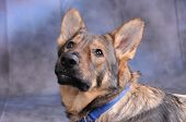 A male German Shepard