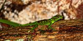 pic of negro  - Anoles are a common sight at Toro Negro State Forest of Puerto Rico - JPG