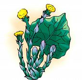 foto of butterbur  - Vector drawing - JPG