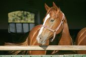 Young thoroughbred  horse standing in the barn