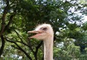 head ostrich