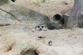 foto of meerkats  - meerkat is looking photographer in the zoo - JPG