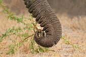 Close-up of the trunk of a feeding African elephant (Loxodonta africana), South Africa