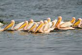 Great white pelicans (Pelecanus onocrotalus) swimming, Lake Nakuru National Park, Kenya