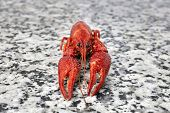 Picture of one big river crayfish on grey worktop in rows.