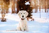 Winter walk of golden retriever puppy