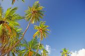 The tops of palm trees