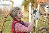 picture of prunes  - Mid adult female pruning tree in orchard selective focus on face - JPG