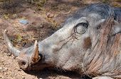 stock photo of saharan  - Warthog or Common Warthog  - JPG