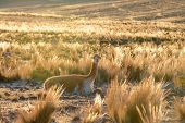 Smiley Vicuna Near Nazca