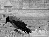 Grey Raven
