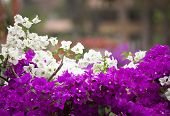 White And Pink Bougainvillea