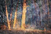 sun rays in pine forest in morning