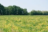 Field Soybeans In Autumn