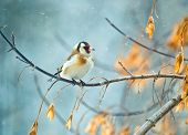 stock photo of goldfinches  - Goldfinch sitiing on branch winter season snow - JPG