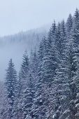 Snow-covered Fir Forest